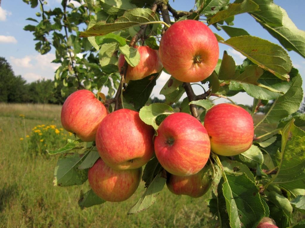 Apfelbaum der Auleber Obstmanufaktur