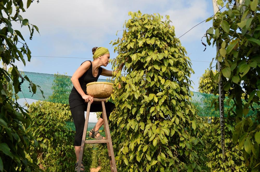 Anja Matthes von Pure Pepper pflückt am Pfefferstrauch Beeren