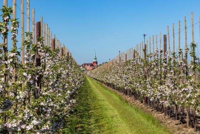 Apfelplantagen im Alten Land -Altländer Genuss