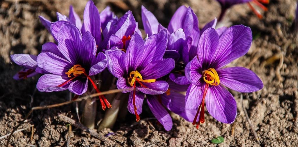Violette Safran-Krokusse