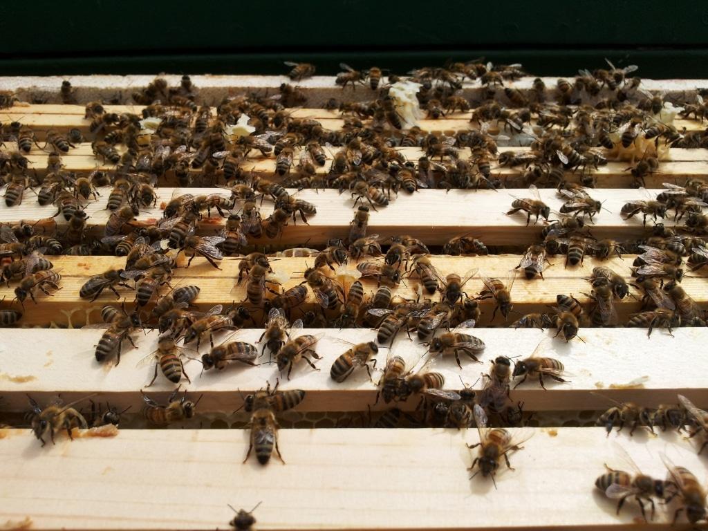 Bienen an Rahmen der Kästen von Geiler Honig