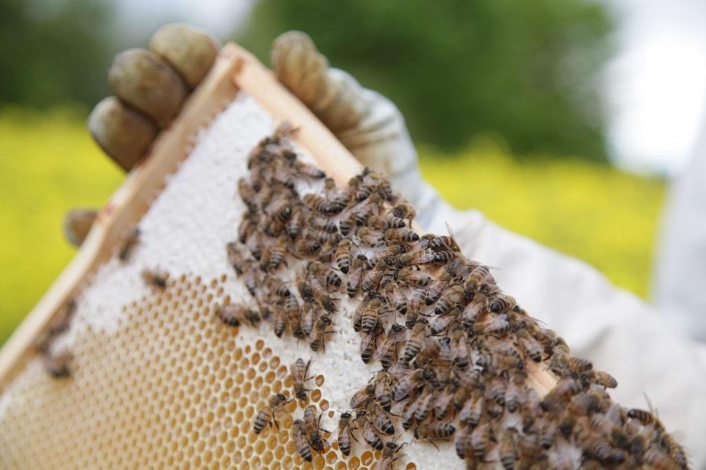 Honigwaben mit Bienen von Geiler Honig
