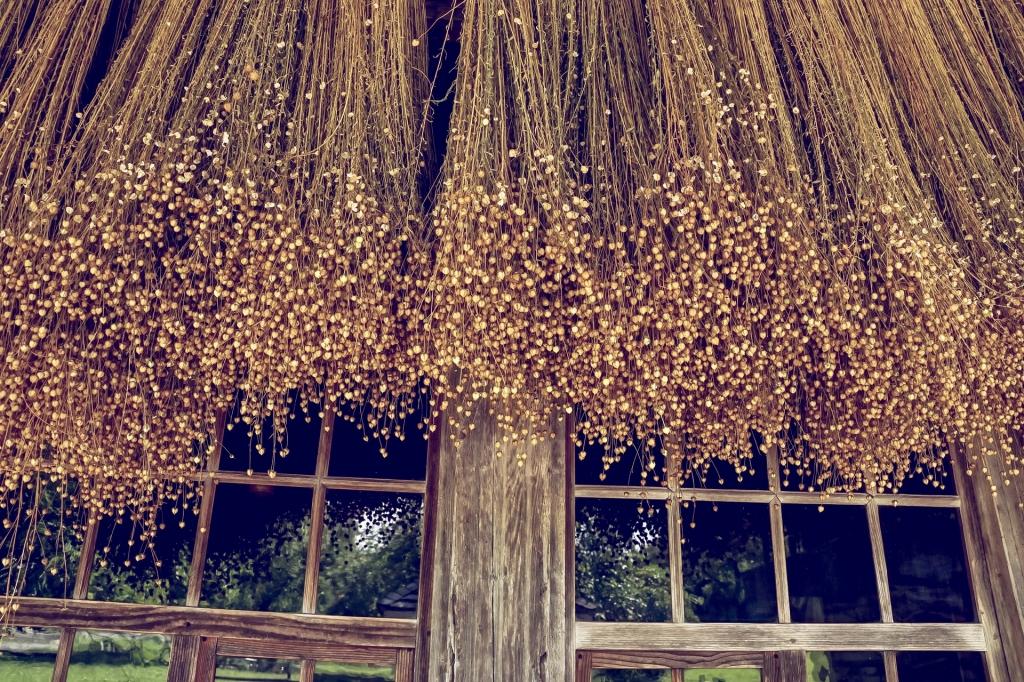 Getrockneter Flachs vor Fenster