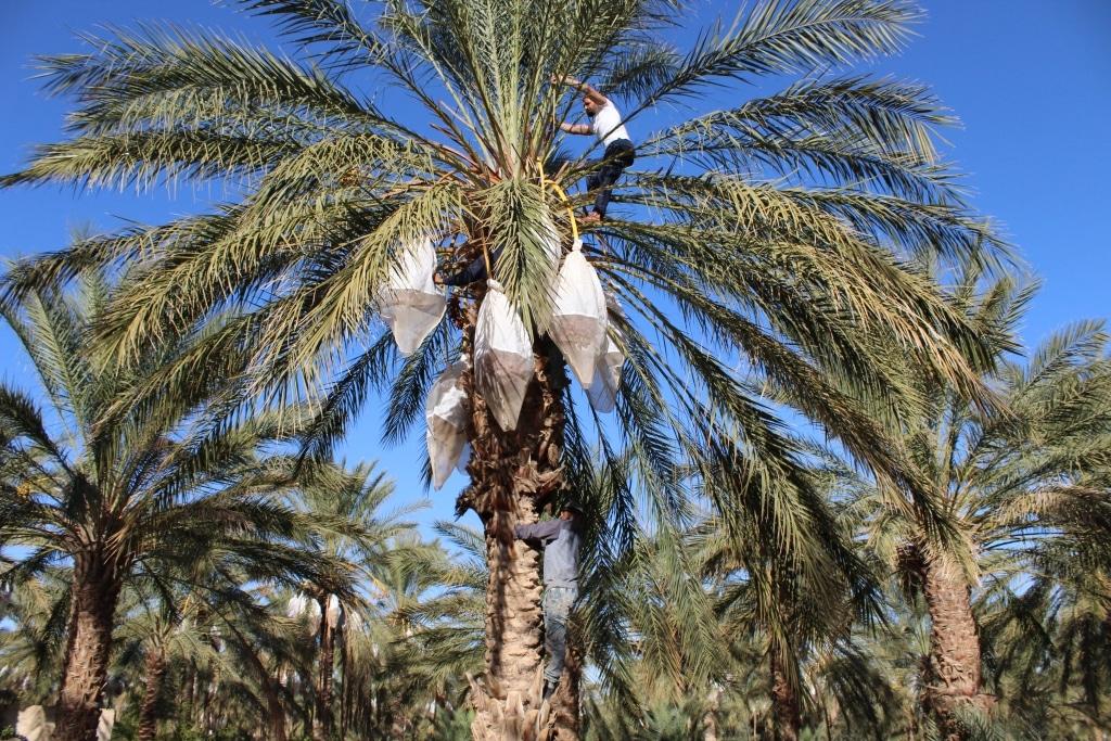 Mann erntet Früchte von Palme für HOWA