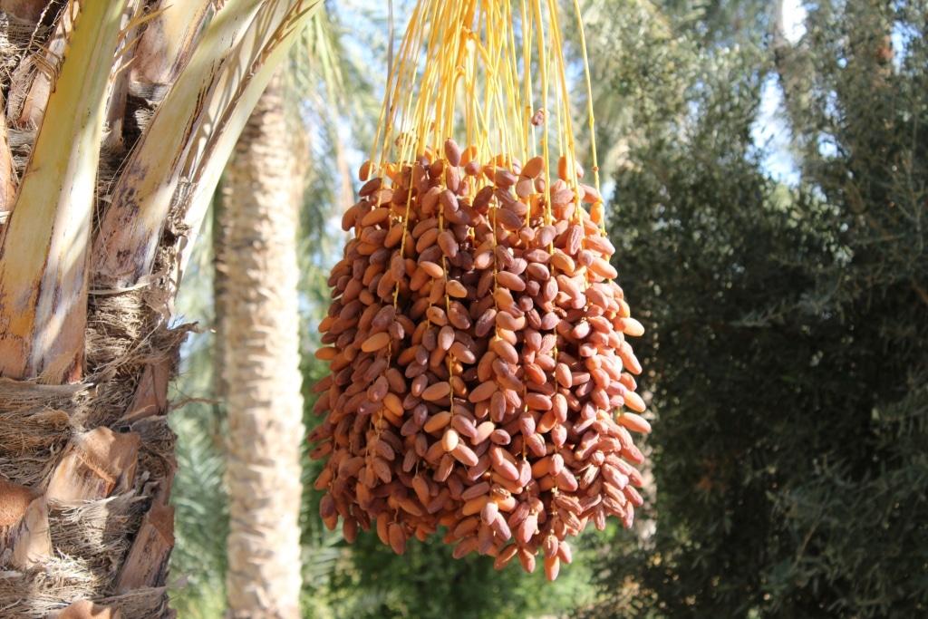 Früchte von HOWA an Rebe