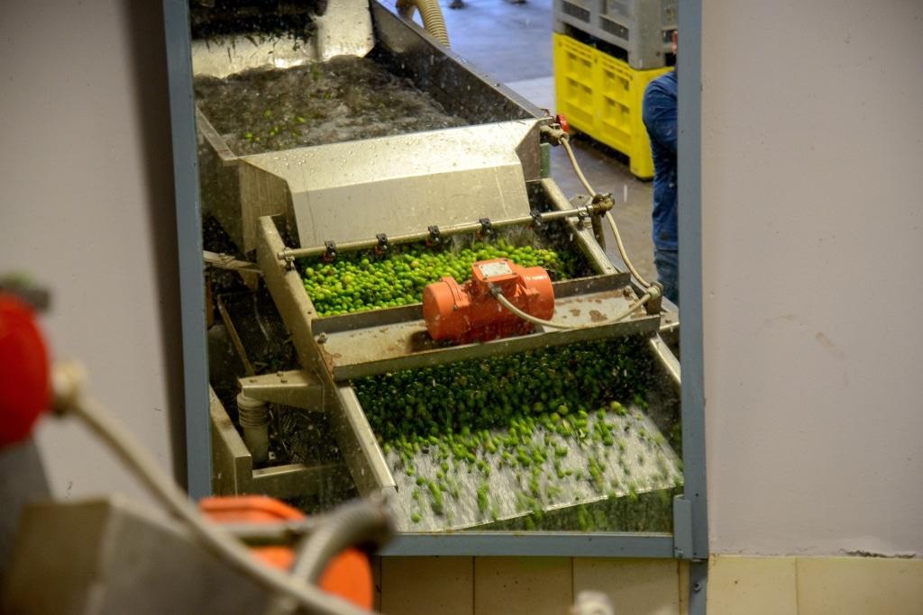 Oliven von Olio Costa werden in der Maschine mit Wasser gereinigt