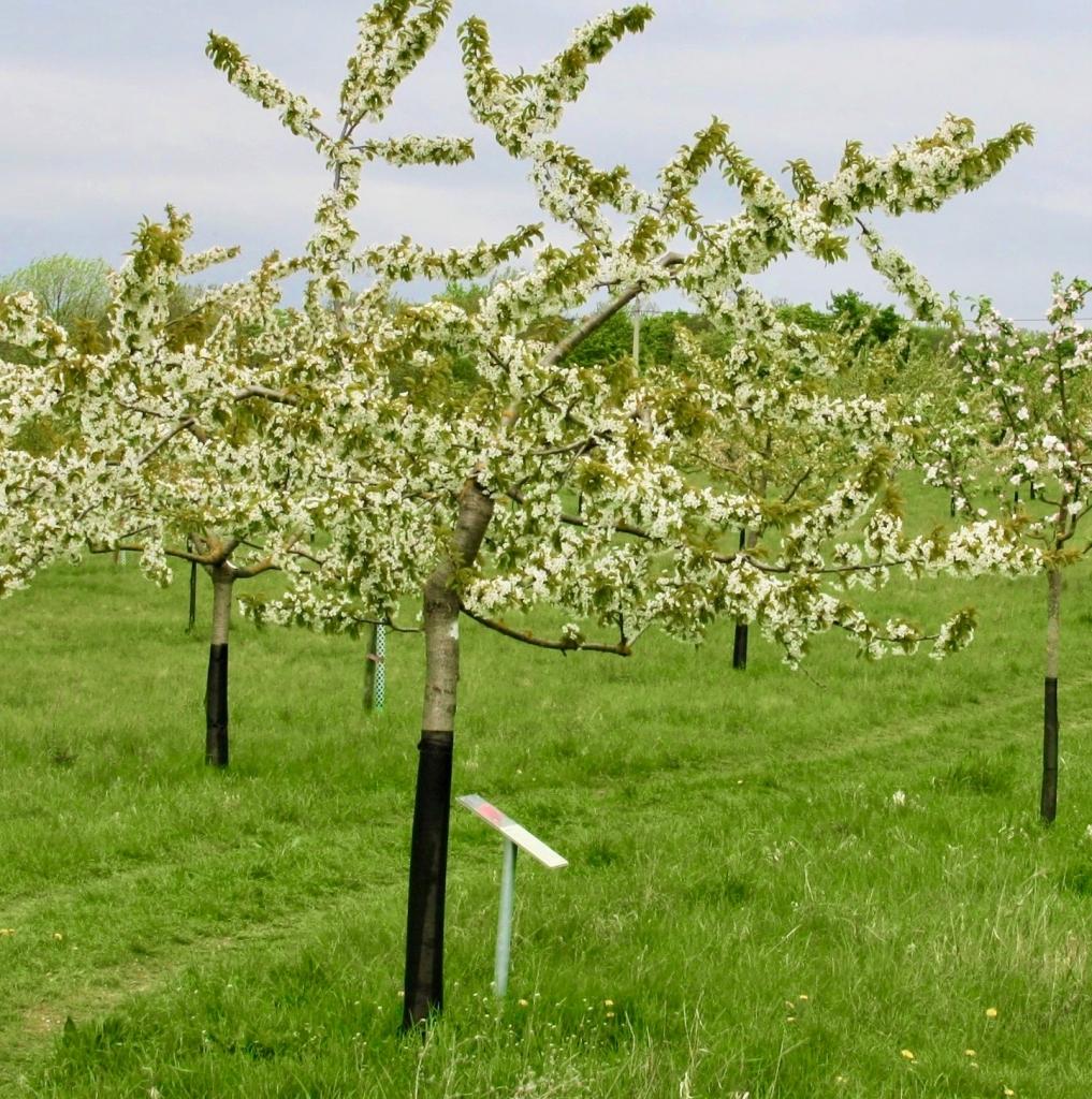 Blühende Obstbäume in der Kyffhäuseregion von Kyffhäuserobst