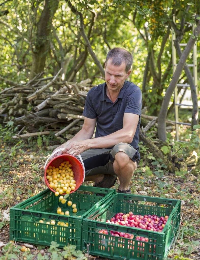 Matthias Rosenberg von  Rosenberg Delikatessen füllt frisch geerntete Kirschpflaumen in Gemüsekisten