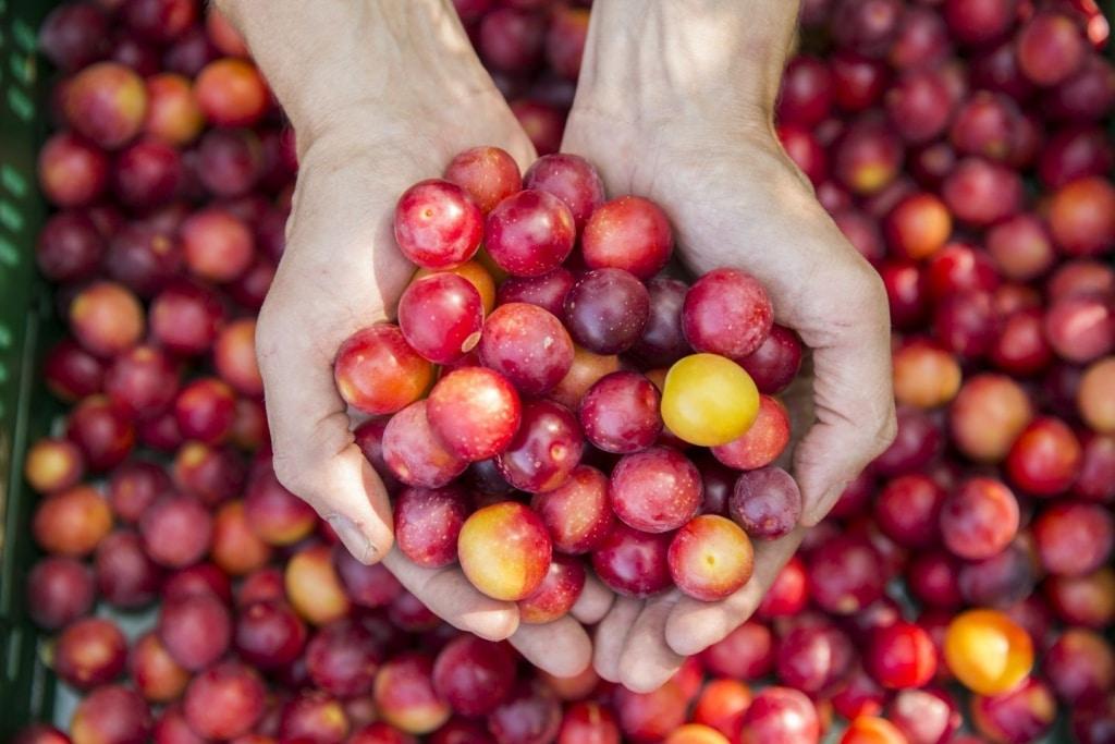 Frische rot-gelbe Kirschpflaumen für Rosenberg Delikatessen