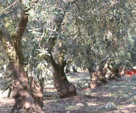 Olivenöl nativ extra 250ml