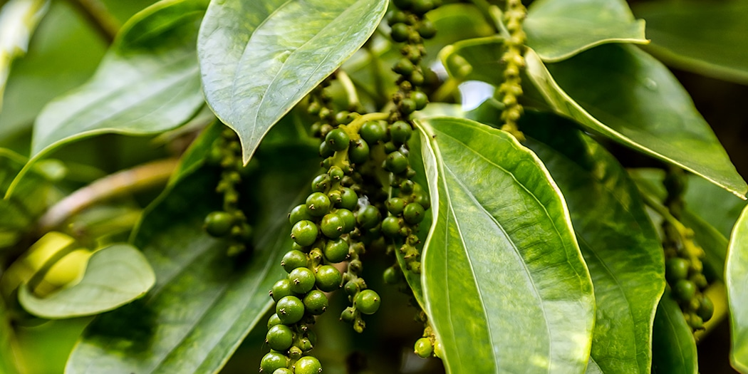 Eine Pfefferpflanze mit Beeren